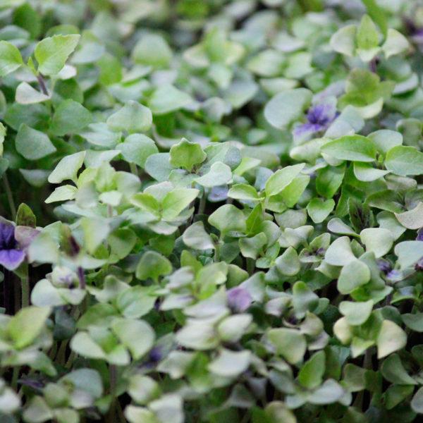 Микрогрин базилика купить микрозелень