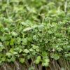 Микрогрин горчицы купить микрозелень Днепр