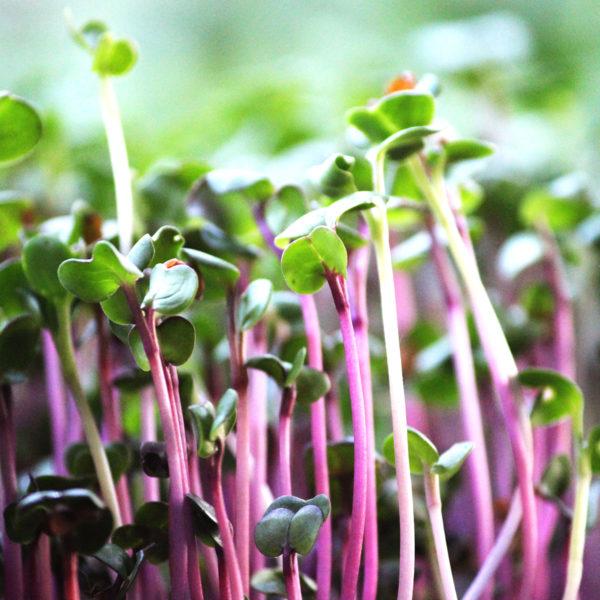 Микрогрин редис купить микрозелень